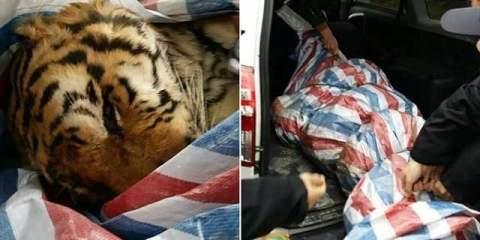 Чиновники и бизнесмены совершили ритуальное убийство тигров ради развлечения